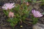 Drosanthemum striatum