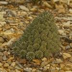 Euphorbia multiceps