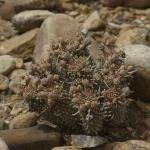 Euphorbia braunsii