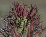 Euphorbia stellispina X enopla